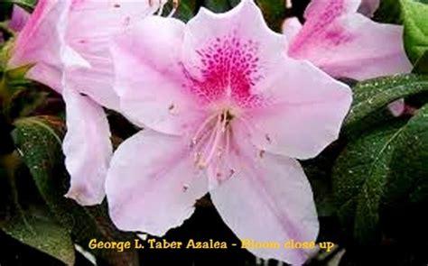 george  taber azalea rhododendron