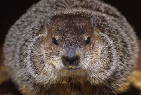 groundhog day time how groundhog day history involves the groundhog time