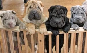 living with the chinese shar pei | canine chronicle