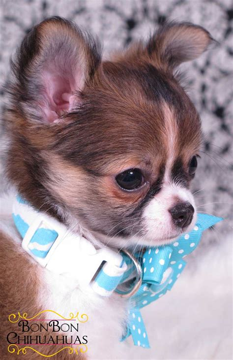 long haired chihuahua haircuts long haired chihuahua information long hairstyles