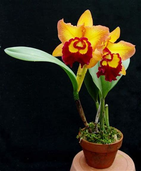 496 best images about potted orchids on orchid