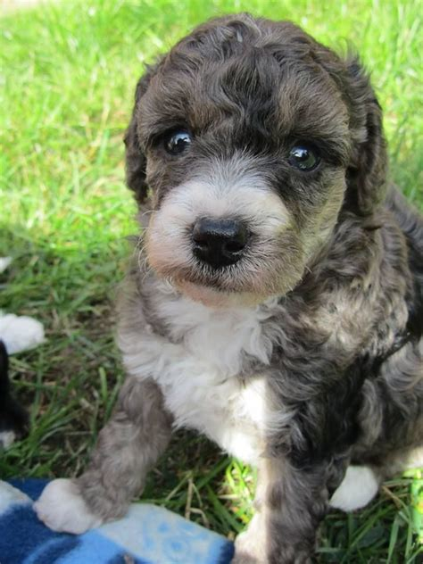 border doodle puppies for sale uk mini poodle borderdoodle pra clear blue merle