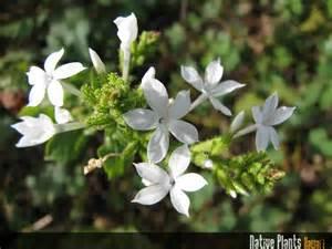 Hawaiian Plants Native Plants Hawaii Viewing Plant Plumbago Zeylanica