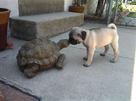 pugs habitat pug and turtle animals