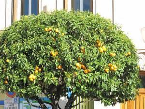 Sulphur Spray For Fruit Trees - file orange tree in carnoles jpg