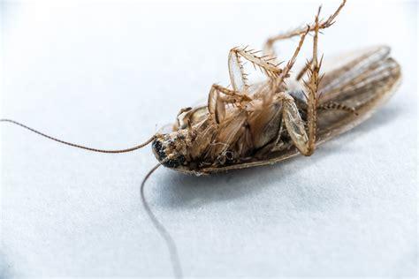 baby cockroach vs bed bug baby cockroach vs bed bug bedspreads