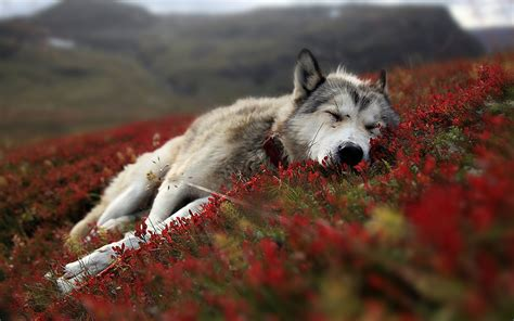 wallpaper for desktop wolf cute wolf desktop background wallpaper wallpaper hd