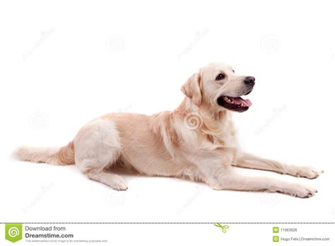 golden retriever portrait golden retriever portrait royalty free stock image image 11963926