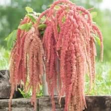 Bibit Benih Seeds Bunga Pink Sweet Alyssum bibit bunga zinnia luminosa pink