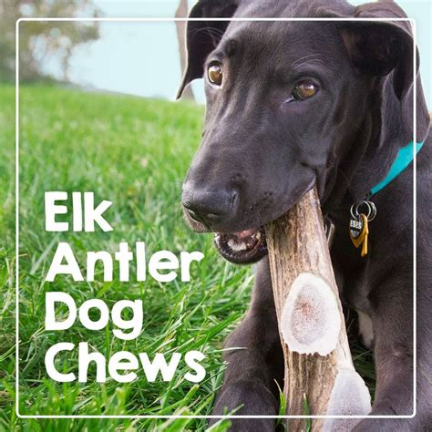 elk antlers for dogs 25 best ideas about elk antlers for dogs on deer antlers for dogs