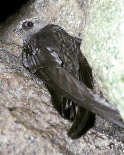 black swift audubon field guide