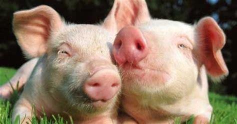 Pakan Udang Dari Jagung panduan budidaya ternak babi peternakan perikanan