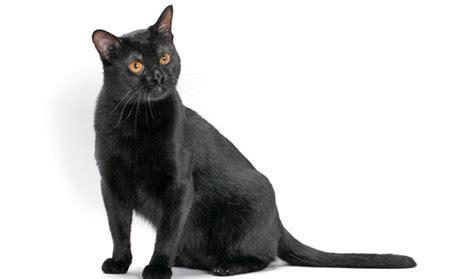 Dijamin Clear St Kitties bombay cat breed information