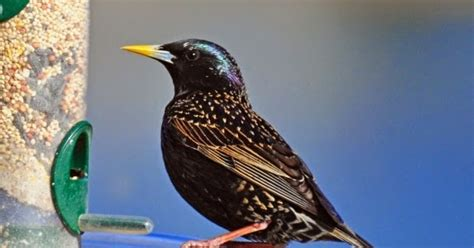 wild birds unlimited overwhelming flock of blackbirds in
