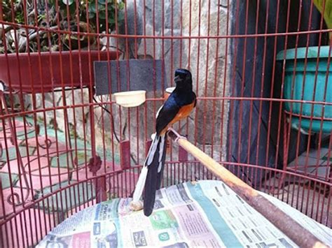 Jual Pakan Burung Medan jual murai batu medan jual burung murai batu medan