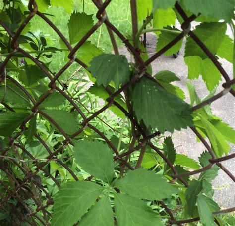 climbing plant leaf identification identification help identify this aggressive vine