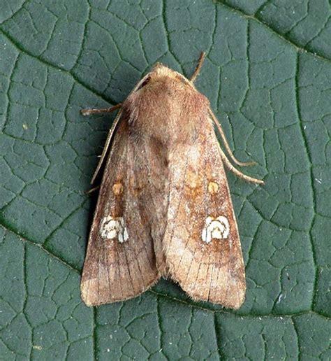 the of the moths books ear moth hipoea oculea ukmoths