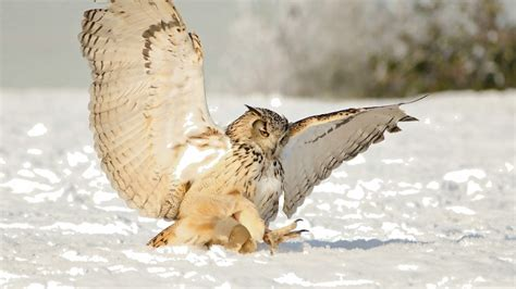 owl snow swing predator diferent photos