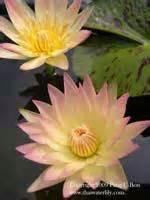 wgi  journal review  waterlilies  thailand
