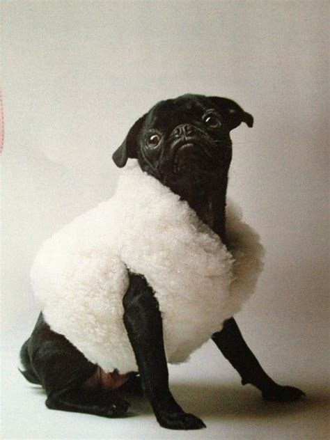 sheep pug 12 best images about well dressed pugs on surfers and honey