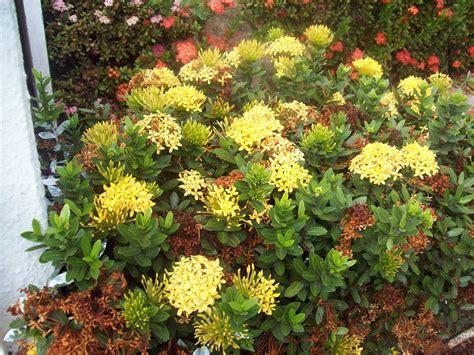 imagenes de flores isoras ixora amarilla 02 jpg 2048 215 1536 flower ixoras