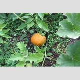 Pumpkins Growing   1200 x 800 jpeg 196kB