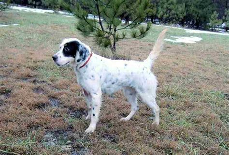 english setter dog pictures puppy pictures and gallery english setter puppy pictures