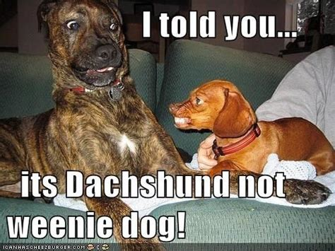 Wiener Dog Meme - best 25 dachshund meme ideas on pinterest funny puppies