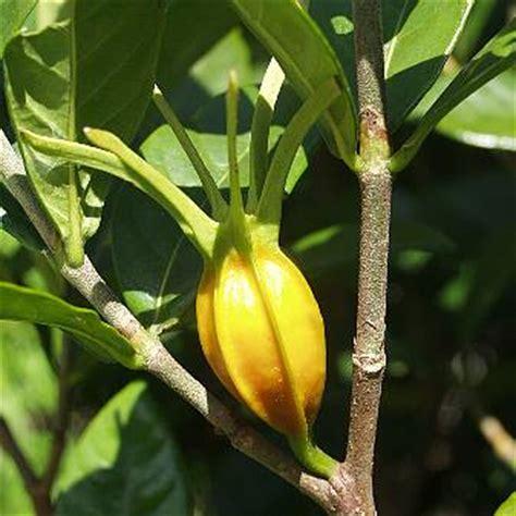 Gardenia Fruit Capejasmine Fruit Fructus Gardeniae