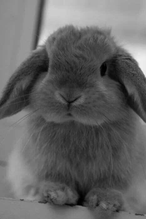 Cute gray lop eared bunny | Animais bebés fofinhos