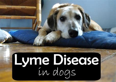 lymes disease in dogs lyme disease in dogs pbs pet travel