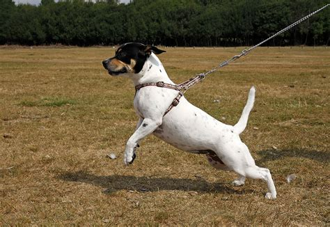 when to start leash a puppy walking your starts before you leave the house jim burwell s petiquette