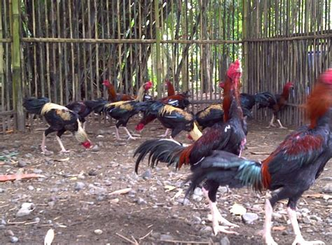 cara membuat anak ayam cepat besar cara beternak ayam bangkok pt natural nusantara