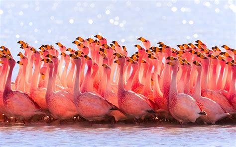 flamingo mobile wallpaper flamingo hd wallpapers full hd pictures