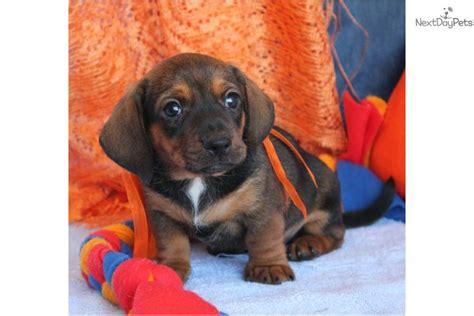 dachshund puppies for sale in st louis dachshund mini puppy for sale near st louis missouri e4ae834a e2e1
