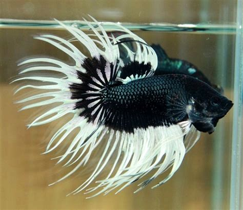 47 Best Images About Beta 47 best images about fishes fancy bettas on