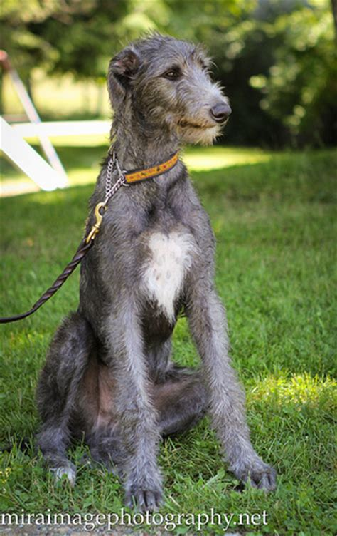 scottish deerhound puppies scottish deerhound puppy flickr photo