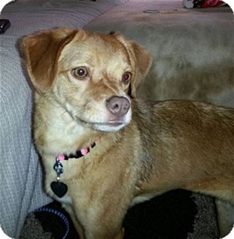 pug golden retriever mix topeka adopted plainfield il pug golden retriever mix