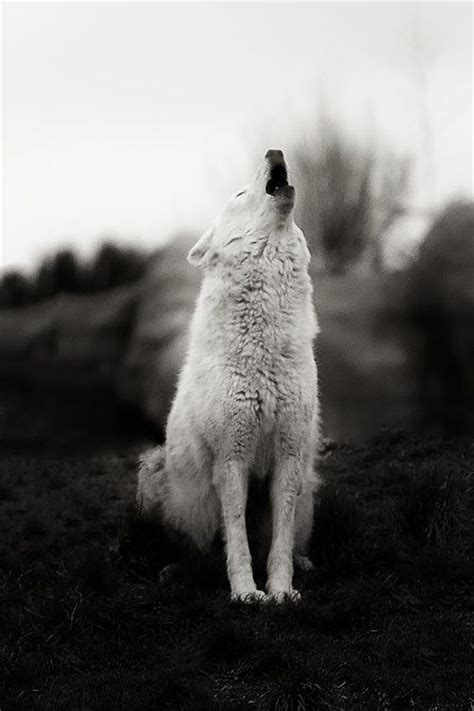 17 best images about and stuff on wolves