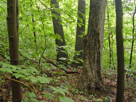 Which Feature Is Characteristic Of A Bottomland Hardwood Forest - maine areas program community fact sheet