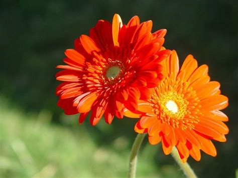 fiore gerbera gerbera piante perenni curare la gerbera