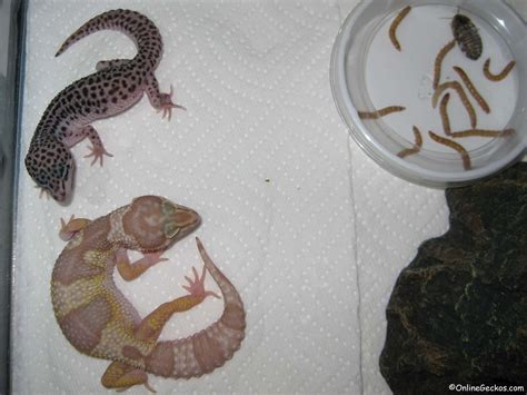 leopard gecko heat l do leopard geckos need a heat l 28 images crested