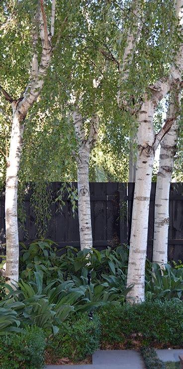 white birch moss white   plants garden