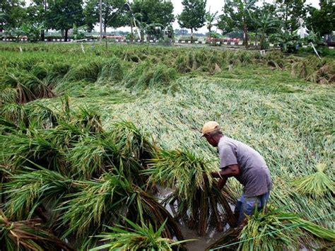 Kelambu Tanaman burung emprit ganggu panen padi harian semarang