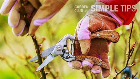 protect roses  winter rose winter garden spring garden