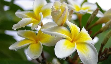 informasi lengkap mengenai bunga kamboja selingkarancom
