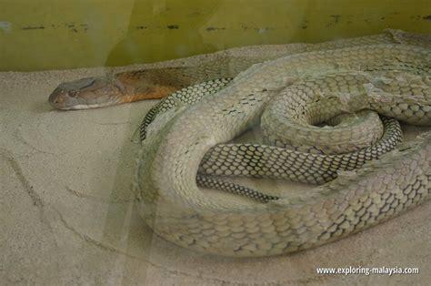 King Snake Shedding by Sungai Batu Pahat Snake Reptile Farm Perlis Malaysia
