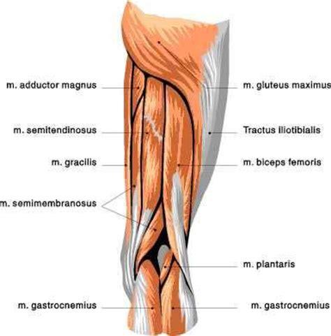 hamstring muscles diagram posterior leg view gluteous maximus 3 hamstrings