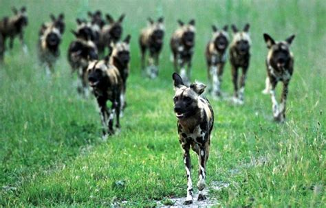 why do dogs run away running away from rabid packs of dogs the khmer way to fitness khmer440