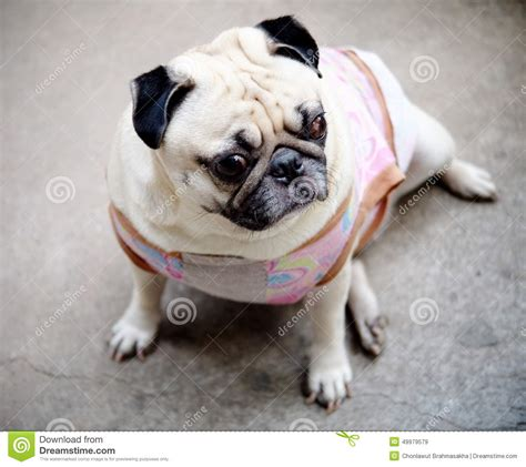 pug puppies in clothes puppies wearing clothes search results million gallery
